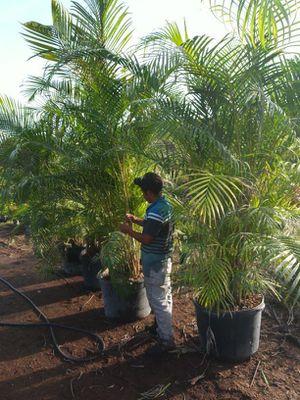 Palm privacy plant for Sale in Stuart, FL