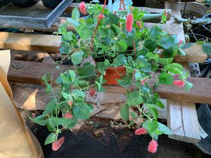 Firetail plant for Sale in West Modesto, CA