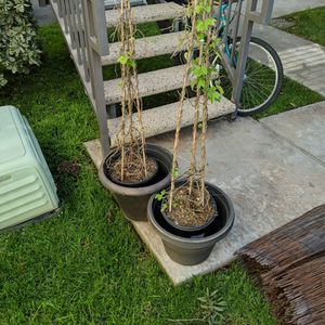 Free Morning Glory Vines + Pots for Sale in Costa Mesa, CA