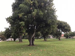 I have 25 mature organic mango trees and I am looking to sell larger quantities for harvest. for Sale in Boynton Beach, FL