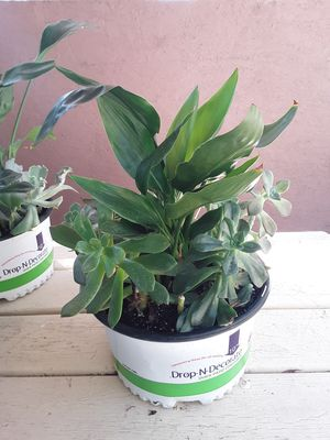 Birds of paradise with succulents plants 8 - 10 inches pot $12 each for Sale in Chula Vista, CA