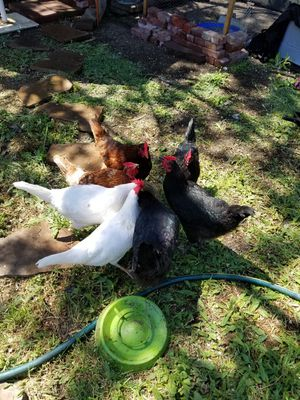 Backyard Chickens for Sale in UT, US