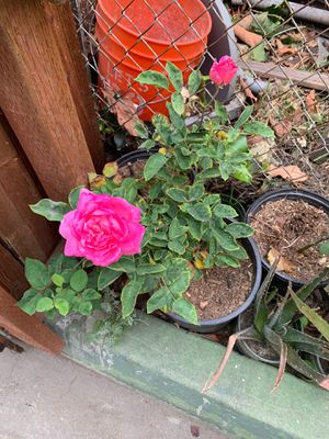 Roses and plants for Sale in Compton, CA