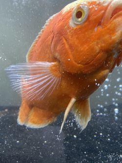 OSCAR FISH for Sale in Garden Grove,  CA