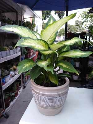 SHADE PLANT for Sale in Paramount, CA