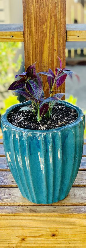 Live outdoor or indoor Persian Shield house plant in a textured ceramic planter flower pot—firm price for Sale in Renton, WA