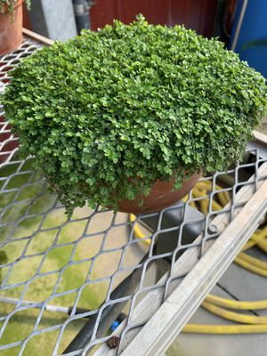 Baby Tears Plant for Sale in Rochester, MI