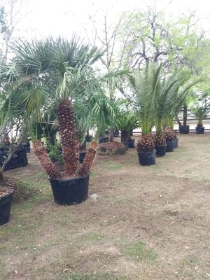 Palms trees for Sale in Von Ormy, TX