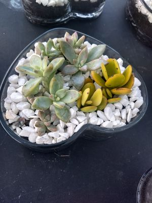 Lucky plants succulent for Sale in Minneola, FL