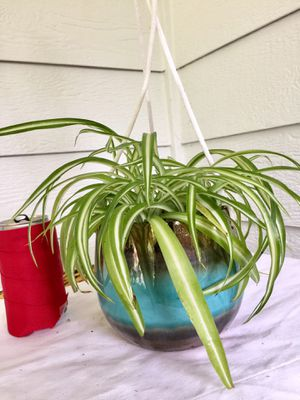 Real Indoor Houseplant - Spider Plants in Blue Striped Hanging Ceramic Planter Pot for Sale in Auburn, WA