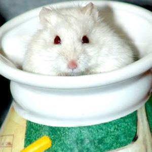 Free Hamsters to good homes for Sale in Anaheim, CA