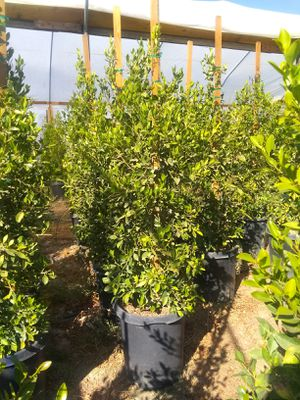 15gallon Ficus Plants good for Privacy for Sale in Perris, CA