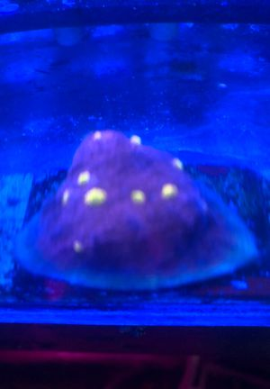 Coral frags for Sale in Los Angeles, CA