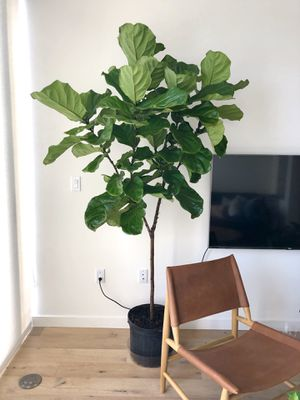 7' Fiddle Leaf Fig Plant | West Elm Crate Barrel Cb2 Room Board Article IKEA for Sale in Beverly Hills, CA