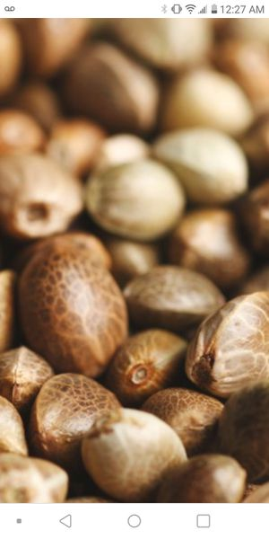 Feminized seeds for Sale in RAISINVL Township, MI