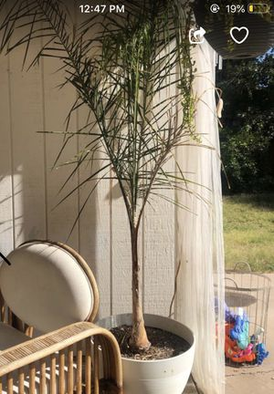 Potted patio palm tree for Sale in Phoenix, AZ