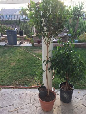 I have these ficus trees with 2 or 3 plants in one pot for only 25 each for Sale in Wildomar, CA