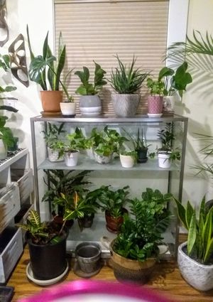 INDOOR PLANTS GALORE!! MONSTERA, BIRDS OF PARADISE, RUBBER, SUCCULENTS & MUCH MORE!! for Sale in Portland, OR