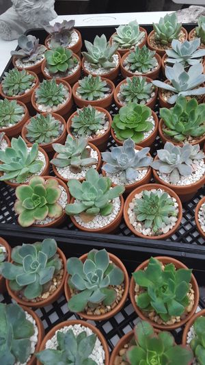 "2""5 clay pots with succulent plants $2.50 each for Sale in Whittier, CA"