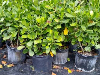 Clusias Plants For Immediate Privacy! 3 FEET TALL for Sale in Miami,  FL
