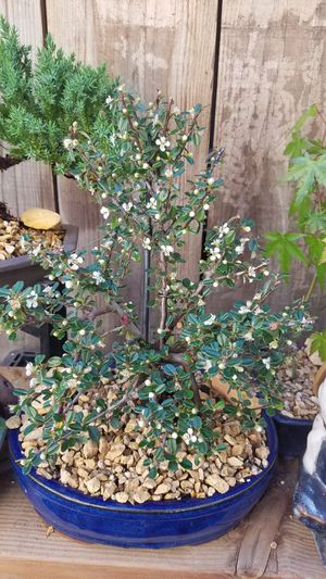 Bonsai cotonester white flowers to red berries for Sale in Fresno, CA