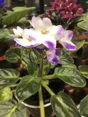 African violets blooming for Sale in Antelope, CA