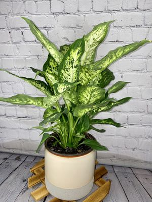 """Dieffenbachia Compacta (Dumb Cane) Low Light Tolerant in 6"""" Beige Pot with Grey Sand Bottom for Sale in Los Angeles, CA"""
