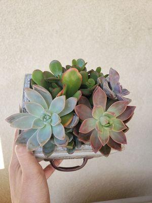 Succulent/suculento for Sale in Corona, CA