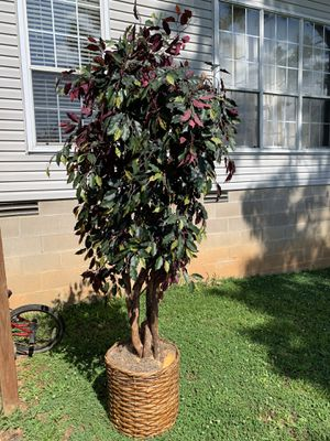 Ficus tree for Sale in AR, US