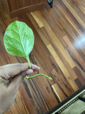 Plant cuttings for Sale in Ashburn, VA
