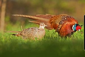Ringneck Pheasant for Sale in Antioch, CA
