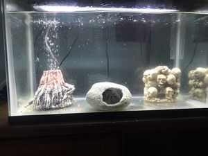 BLACK CONVICT CICHLIDS and 10 gallon tank for Sale in Elk River, MN