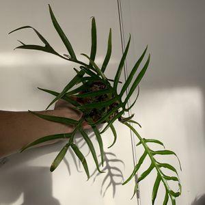 Philodendron Tortum Plant for Sale in San Antonio, TX