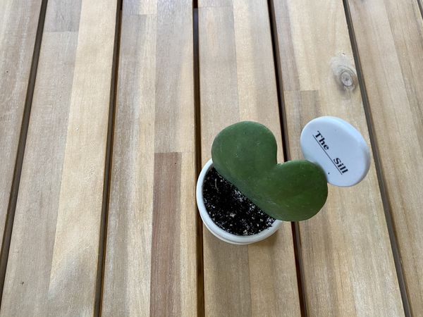 The Sill Hoya Heart Plant with Ceramic Pot and Dish