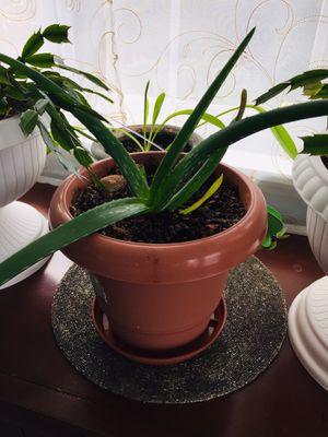 Aloe Vera plant for Sale in Everett, WA