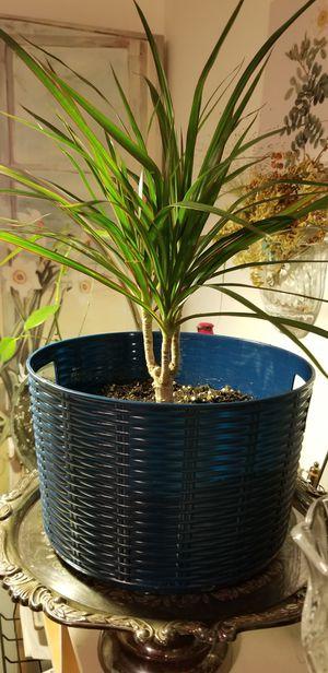 Dracaena Marginata indoor Plant for Sale in Federal Way, WA