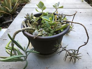 Succulents in black container for Sale in Fremont, CA