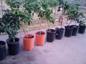 6 fruit trees 105 for Sale in Phoenix, AZ