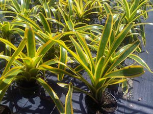 Bromeliad plants for Sale in Pompano Beach, FL