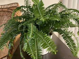 Hanging Fern Plant for Sale in Sylmar,  CA