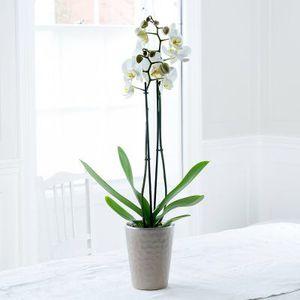 Live Orchid Plant for Sale in Phoenix, AZ