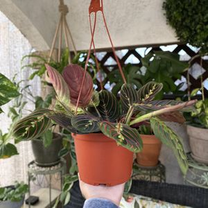 Maranta Leuconeura - Red Prayer Plant for Sale in Westminster, CA