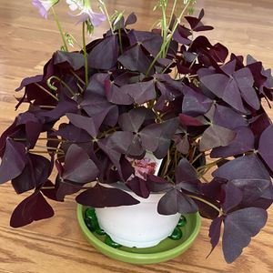 "Burgundy Shamrock (Oxalis triangularis) House Plant In 6"" Pot for Sale in Los Angeles, CA"