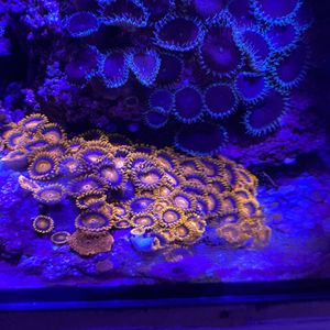 orange bam bam zoanthids coral colony live rock for Sale in Diamond Bar, CA