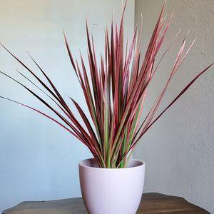 "CYBER WEEK SALE! Pink On Hot Pink Dracena In Matte 6"" Bell Ceramic Pot | INDOOR | TROPICAL | BUNDLE | CHIC for Sale in Los Angeles, CA"