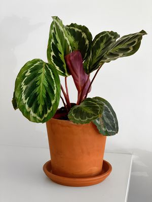 Beautiful Calathea Medallion for Sale in New York, NY