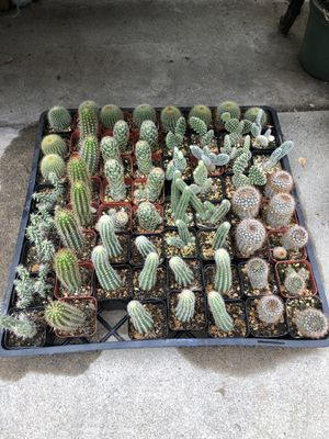 2in cactus plant for Sale in San Diego, CA