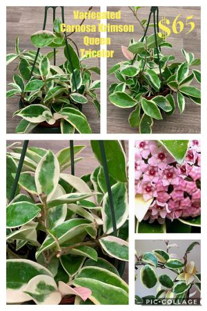 Tricolor variegated Hoya Carnosa Krimson Queen for Sale in Westminster, CA