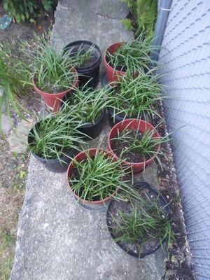 25% OFF Purple Spiderwort Perennials for Sale in Madison Heights, MI