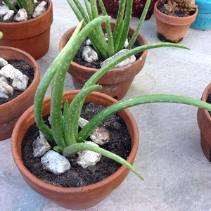 Agave Potted Plant for Sale in Hialeah, FL